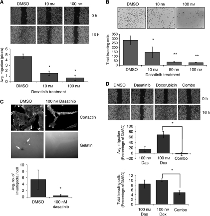 Doxorubicin and dasatinib synergize to block migration and invasion of MDA-MB-231 cells. (A) MDA-MB-231 cells were grown to 80% confluence in glass chamber slides and treated for 6 h before being streaked with a sterile pipette tip. Phase contrast images were taken at 0 and 6 h after wounding. All bright field images were obtained at × 10 magnification and wound width quantified (in pixels) using the NIH Image J software. (B) Cells were pre-treated with dasatinib for 4 h before transfer to Matrigel invasion chambers in serum-free, dasatinib-containing media. Cells were allowed to invade for 16 h towards media containing 10% FCS plus dasatinib. Data represent the average number of invading cells per membrane. (C) MDA-MB-231 cells were plated on FITC-gelatin in media containing DMSO or 100 nM dasatinib and allowed to adhere and invade for 20 h. Cells were then stained for cortactin, and invadopodia counted as co-localisations of cortactin staining and degraded FITC-signal (indicated by white arrows) in 10 random fields per sample. Results represent the average number of invadopodia per cell. (D) Wound healing and Matrigel invasion assays were repeated as in panels A and B, with dasatinib-, doxorubicin-, or combination (100 nM each drug)-treated cells. Error bars represent s.d. *Indicates P<0.05; **indicates P<0.01.