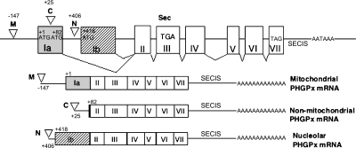 Structure of the PHGPx gene, and of the three types of PHGPx mRNA. The structure of the mouse PHGPx gene (Accession No. AB030643) includes eight exons in the upper panel, while exons of the three types of PHGPx mRNA are shown in the lower panel. Exon Ia (gray box) includes the translational first start site ATG (+1) for mitochondrial PHGPx, and the second ATG (+82) for non-mitochondrial PHGPx. Exon Ib (shaded box) includes the translational third start site ATG (+418) for nucleolar PHGPx. The reverted open triangles show three transcriptional start sites by analysis of 5'RACE as previously reported [3]; position −147 is the transcriptional start site for mitochondrial PHGPx (M), position +25 for non-mitochondrial PHGPx (C) and position +406 for nucleolar PHGPx (N). TGA in exon III encodes selenocysteine and TAG in exon VII encodes the stop codon. SECIS is the selenocysteine insertion sequence.