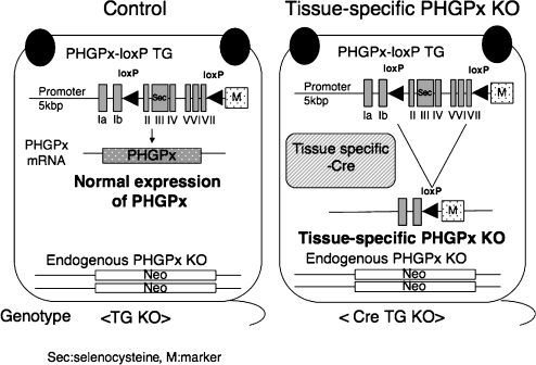 Our established transgenic rescued floxed PHGPx knockout mice (Control mice) and tissue specific conditional PHGPx knockout mice by deletion of PHGPx-loxP transgene using Cre-loxP system. We established three lines of PHGPx-loxP TG/KO mice (TG KO, Control mice), all of which were viable and fertile, with body weights indistinguishable from those of wild-type mice. The PHGPx-loxP transgene could transcribe only PHGPx mRNA in the PHGPx-loxP TG/KO mice at nearly the same level as in the wild-type mice. Using a Cre-loxP conditional knockout strategy, we could generate tissue-specific PHGPx knockout mice (Cre TG KO mice) by mating PHGPx-loxP TG/KO mice with tissue-specific Cre expressing PHGPx heterozygous mice. In tissue specific PHGPx knockout mice, PHGPx-loxP transgene was specifically disrupted by tissue specific Cre recombinase.