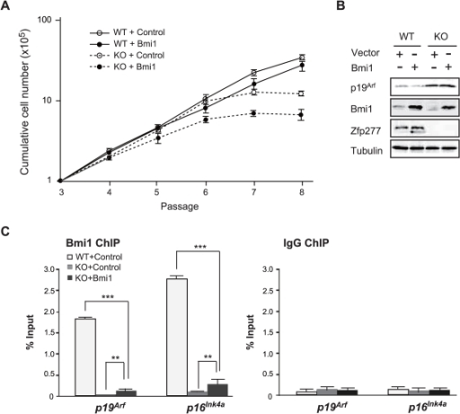 Forced expression of Bmi1 does not repress the Ink4a-Arf genes in Zfp277−/− MEFs.A. Bmi1 does not rescue Zfp277−/− MEFs from premature senescence. Wild-type and Zfp277−/− MEFs were transduced with either a control or a Bmi1 retrovirus and cell growth was monitored every three days by replating at 1×105 cells/plate. Cumulative cell numbers are shown as the mean ± SD for three independent triplicate experiments. B. Bmi1 does not repress the Ink4a-Arf genes in Zfp277−/− MEFs. Wild-type and Zfp277−/− MEFs were transduced with either a control or a Bmi1 retrovirus and the expression of p19Arf was detected by Western blot analysis. Tubulin was used as a loading control. C. ChIP analysis of Bmi1 in Bmi1-transduced Zfp277−/− MEFs. Zfp277−/− MEFs transduced with either a control or a Bmi1 retrovirus were subjected to ChIP analyses using an anti-Bmi1 antibody and control IgG. The ChIP analysis of Bmi1 in wild-type MEFs at passage 2 is shown as a control. Percentages of input DNA are shown as the mean ± S.D. for three independent experiments. Statistical significance was determined with Student's t-test; **p<0.01, ***p<0.001.
