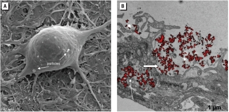 REM (A) and TEM (B) images of neuronal networks exposed to TiO2-NPs. (A) Neuronal cell with internalized TiO2 NPs (arrows). (B) Accumulation of particles inside lysosomes (large arrow) and residual bodies (small arrow). In A, bar = 5 μm; in B, bar = 1 μm.