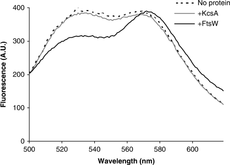 Increased accessibility of Lipid II to vancomycin in proteoliposomes containing FtsW. Vesicles without any protein or reconstituted with the control protein KcsA or with FtsW were prepared according to the procedure described before. FRET measurements were then carried out at 14°C after addition of vancomycin-TMR. FtsW-containing vesicles display a much higher FRET signal than the protein-free and KcsA-containing vesicles. All measurements are representative of at least three independent experiments. A.U.: arbitrary units.