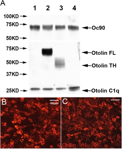 Co-immunoprecipitation (co-IP) of Oc90 with otolin or its domains.HEK293 cells were transfected with full-length Oc90-FLAG, otolin and domains of otolin. Shown in (B, C) are Oc90-FLAG and otolin detected by immunostaining. In (A), protein products were co-immunoprecipitated using anti-FLAG agarose beads. The lanes are co-IP with: 1) empty vectors, 2) full-length (FL) otolin, 3) otolin-TH domain, and 4) otolin-C1q domain.