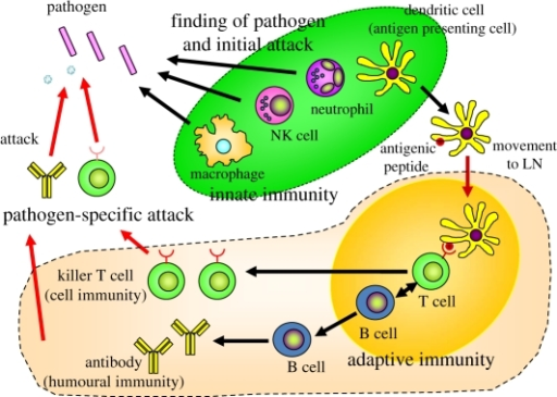 Interactions of innate and adaptive immunity. When path | Open-i