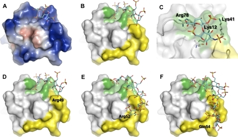 Computational docking model of HIV-Tat with heparin-derived fragments.Predicted interaction modes between HIV-Tat and heparin-derived fragments, including di- (A, B and C), tetra- (D), hexa- (E), and octa-saccharide (F) were indicated. Tat was represented in surface and oligosaccharides in stick. The Tat surface was colored by electrostatic potential in A. In B–F, it was colored in white, with the KKR region and basic domain highlighted in green and yellow, respectively. A close-up view of the binding interface between the di-saccharide and the KKR (Lys12, Lys41 and Arg78) region was shown in C, where the surface was set to transparent, the protein main chain was shown in 'worm' representation, and hydrogen-bonds are represented by yellow dotted lines.