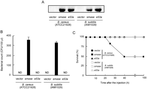 Effect of overexpression of Bc-SMase on growth of B. cereus or B. subtilis in mice.A) B. cereus (ATCC21928) or B. subtilis (ISW1215) was transfected with the plasmid carrying smase or e53a. A) 50% ammonium sulfate precipitation fractions of the culture supernatants (1.0 mg protein) of each microorganism were subjected to SDS-PAGE and Western blotting using anti-Bc-SMase antibody. A representative result from one of three experiments is shown. B, C) Mice intraperitoneally received B. cereus or B. subtilis transformants (1×108 CFU/mouse) carrying empty vector (vector), smase, or e53a. The microorganisms in the blood of mice about 12 h after the administration of these strains were cultured on Luria Broth agar plates. Values represent the mean ± SEM; n = 5 independent experiments. C) Mice were monitored every five hours after the injection. The duration of the experiment was set at 100 h. •, vector (B. cereus); ▪, smase (B. cereus); ▴, e53a (B.cereus); ○, vector (B. subtilis); □, smase (B. subtilis); △, e53a (B. subtilis).