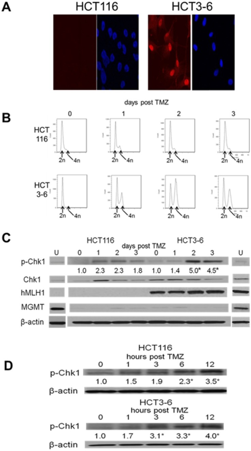 TMZ-induced Chk1 activation is MMR-independent.Isogenically paired HCT cells differing only in MMR capabilities (MMR-deficient HCT116 and MMR-proficient HCT3-6) depleted of MGMT by pre-incubation with BG (20 µM, 2 hrs, G55+BG) were incubated with vehicle (U) or TMZ (100 µmol/L, 3 hours) after which TMZ was removed, vehicle or BG was replaced, and cells were harvested at 24–72 hours (A, C) or at earlier time points (1–24 hours, B, D) following TMZ exposure for analysis of H2AX foci (A, DAPI staining in right panel of pairs), DNA content by FACS (B), or pChk1, Chk1, hMLH1, MGMT, and β-actin expression by Western blot (C, D). Mean fold induction of protein expression was based on densitometric measurements and is shown (relative to untreated controls) below the relevant immunoreactive bands. *, p<.05.