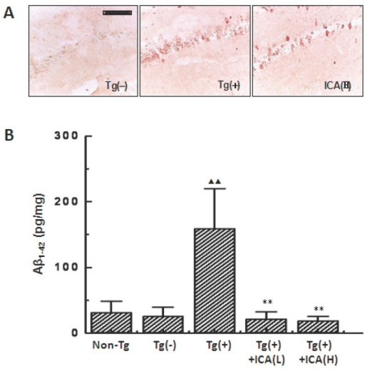 Effects of icariin on Aβ contents in the hippocampus of 10-month-old APP V717I transgenic mice. Icariin (ICA) at the doses of 30 μmol/kg (L) and 100 μmol/kg (H) was intragastrically administered to APP Tg mice for 6 months (from 4 to 10 months of age). A. Aβ burden in the hippocampal CA1 region that was detected with immunohistochemical staining by using anti-Aβ1-16 antibody (scale bar = 50 μm). n=5. B. Aβ1-42 contents in the whole hippocampus that were measured with enzyme-linked immunosorbent assays. n=8-10. The data are shown as mean ± SD; ▲▲P < 0.01, compared with Tg(-) mice; ** P < 0.01, compared with Tg(+) model mice.