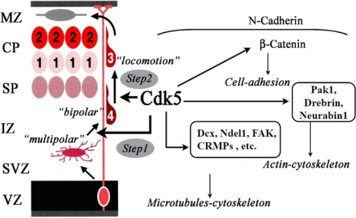 Functions of Cdk5 in neuronal migration. Cdk5 is required for the radial migration of later-generated neurons in the cerebral cortex. Cdk5 is necessary for multipolar-to-bipolar transition (Step 1) and locomotion through the regulation of nucleokinesis of migrating neurons (Step 2). For these steps, Cdk5 regulates the dynamics of microtubules-cytoskeleton, actin-cytoskeleton and cell-adhesion through the phosphorylation of its substrate proteins.