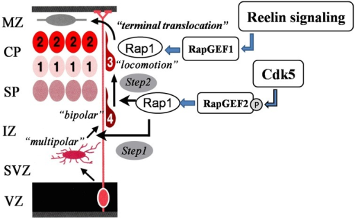 Sequential Rap1 activation by Cdk5 and Reelin signaling. Cdk5 and Reelin signaling activate Rap1 through the activation of different Rap1GEFs in the control of the radial migration of cortical neurons in the cerebral cortex in a sequential manner.