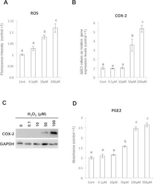 H2O2 addition induced Cox-2 expression in SFs. (A) Estimation of intracellular ROS after H2O2 stimulation to the SFs by APF staining. (B) qPCR assay for Cox-2 mRNA expression after H2O2 treatment. (C) Cox-2 protein expression in the H2O2-treated SFs shown by WB. (D) Increasing of PGE2 expression by H2O2 stimulation in dose dependent manner was detected by ELISA assay.