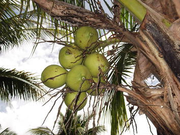 Coconuts are very good for your health because they make you fat and strong. Eat coconuts and plenty of rice if you want to avoid getting sicknesses like malaria.