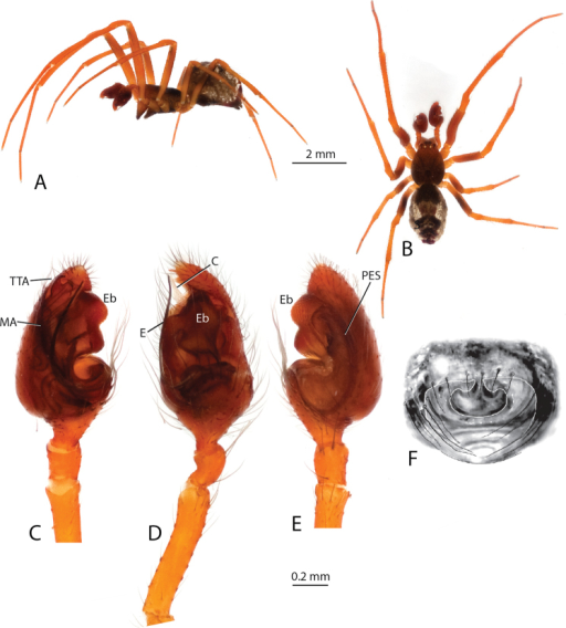 Anelosimussalut: A–B male lateral and dorsal views C–E male palp mesal, ectal, ventral F epigynum, ventral.