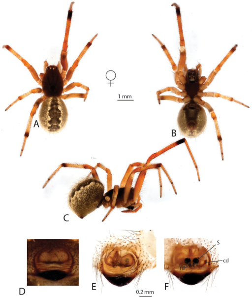 Anelosimushuxleyi: A–C female dorsal, ventral and lateral views D epigynum ventral view E–F cleared epigynum ventral, dorsal.
