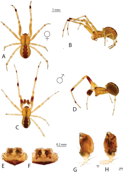 Anelosimusdecaryi: A–B female dorsal, lateral C–D male dorsal, lateral E–F epigynum ventral, dorsal G–H male palp mesal, ventral.