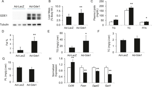 Effects of Gde1 overexpression in mice by adenoviral transduction.C57BL/6 mice were injected with Ad-Gde1 (1 × 109 pfu per mouse, i.v.) and fed with a HF/HS diet for 7 days. Control group received the same dose of Ad-LacZ. (A) Western-blot of liver homogenate using anti-GDE1 or anti-tubulin antibody. (B) Comparison of liver weight between Gde1-overexpressing mice and the control mice. (C) Differences in plasma triglyceride (TG), TC, and free fatty acids levels between Gde1-overexpressing mice (filled bars) and the control mice (empty bars). (D) Hepatic fat percentage in the two groups of mice was determined by MRI. (E–G) Liver lipids were extracted and quantified: triglyceride (TG), TC, and phospholipids (PL). (H) Expression of lipogenic genes was measured by qPCR and normalized to the level of the housekeeping gene 36B4. Ad-LacZ (empty bars) and Ad-Gde1 (filled bars) Results are presented as mean + SD (n = 7–8) * denotes p < 0.05 and ** denotes p < 0.01.DOI:http://dx.doi.org/10.7554/eLife.05607.019