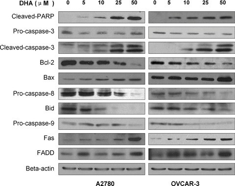 Western blot analysis of protein expression levels indicating the effects of DHA on A2780 and OVCAR-3 ovarian cancer cell lines after 24 hrs exposure to specific dosesof DHA.