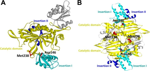 The crystal structure of human glycyl-tRNA synthetase (GlyRS) (PDB ID: 2PME).(A) Mapping of the two GARS mutation sites (p.Asp146Tyr and p.Met238Arg) on one subunit of the human GlyRS dimer. (B) A view of the human GlyRS dimers demonstrating that Met238 is located on the interface between the two subunits. Catalytic, Insertion I and Insertion II domains are colored as indicated.