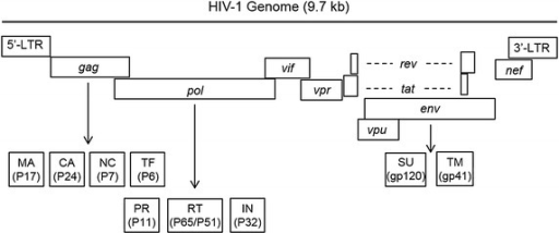 Schematic diagram of HIV-1 genome. The total size of HIV-1 genome is approximately 9.7 kb. Each of the viral genes is drawing based on the relative orientation in the entire RNA genome. Arrows points to cleaved protein products. Dashed lines represent RNA splicing. The number in parenthesis is molecular weight of each protein. LTR long-term repeat, Gag group-specific antigen, MA matrix protein, CA capsid domain, NC nucleocapsid, TF trans-frame protein, Pol polymerases, PR protease, RT reverse transcriptase, IN integrase, Env envelope protein, SU surface membrane protein, TM trans-membrane protein, Vif viral infectivity factor, Vpr viral protein R, Vpu viral protein U, Nef negative regulatory factor, Rev regulator of expression of viral proteins, Tat trans-activator of transcription.