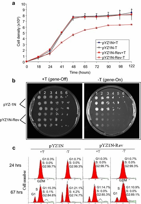 Effect of HIV-1 Rev protein production on fission yeast. a Expression of HIV-1 rev delays cellular growth of S. pombe. S. pombe cells containing pYZ1N-rev was grown under gene-repressing (+T) and gene-inducing (−T) conditions in liquid minimal selection EMM at 30°C. The cell density was measured over time and growth curves were plotted. S. pombe cell containing pYZ1N was used as a control. The experiment was repeated three times and the standard errors of each time point were calculated. b Rev delays colony formation in fission yeast cells. A semi-quantitative colony dot dilution assay was use to evaluate the ability of individual rev-expressing S. pombe cells to form colonies on agar plates. The pYZ1N-rev transformed S. pombe cells were grown in liquid EMM medium to log phase with thiamine. Thiamine was then removed from cells by washing and equal number of cells transferred to EMM supplemented plates with (gene-off, left plate) and without (gene-on, right plate) thiamine. The plates were incubated at 30°C for 5 days. Each colony on a plate from left to right (1–6) represents cells plated from approximately 1,000 to 3 cells following threefold dilutions. The pYZ1N plasmid was used as a control. c Rev does not affect cell cycle of fission yeast. Cell cycle profiles were measured in the pYZ1N-rev and pYZ1N control S. pombe cells by flow cytometric analysis. The data show analyses after 24 and 67 h of cell culture in EMM selective media with (gene-off) and without (gene-on) thiamine. The cell cycle stages were monitored after staining with propidium iodide. The up-right numbers are the percentage of cells in G1, S and G2 phases of the cell cycle.