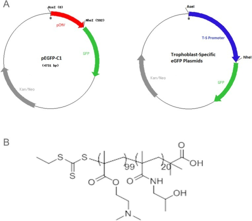 (A) The HPMA-DMAEMA copolymer used for DNA delivery in both in vitro and in vivo studies. (B) Maps of the CMV-eGFP and Trophoblast-specific plasmids.