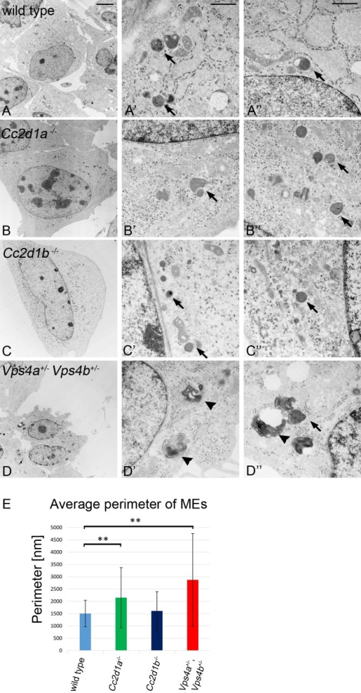"Ultra-structural characterisation of endo/lysosomal compartments in wild type, Cc2d1a-/-, Cc2d1b-/- and Vps4a+/-,Vps4b+/- MEFs.(A-A"") wild type, (B-B"") Cc2d1a-/- mutant, (C-C"") Cc2d1b-/- mutant and (D-D"") Vps4a+/-,Vps4b+/- double heterozygous MEFs. The comparison reveals that Cc2d1a-/- and Cc2d1b-/- contain endo/lysosomal organelles that are similar to wild type endo/lysosomal organelles in appearance. In contrast, the appearance of the organelles is dramatically changed in Vps4a+/-,Vps4b+/- double heterozygous cells. These cells contain massively enlarged MEs with a class E like phenotype. The MEs partially lose their normal round shape and contain many intraluminal vesicles or membrane layers (arrowheads). (E) Statistical analysis of the endo/lysosomal perimeter revealed that the organelles in Cc2d1a-/- and Vps4a+/-,Vps4b+/- MEFs are significantly enlarged compared to wild type cells. Data are mean ± SD values from 4 independent experiments (** p < 0.001). Arrows highlight individual endosomes. Scale bars are 5 μm (A-D) and 0.5 μm (A`-D`, A""-D"")."