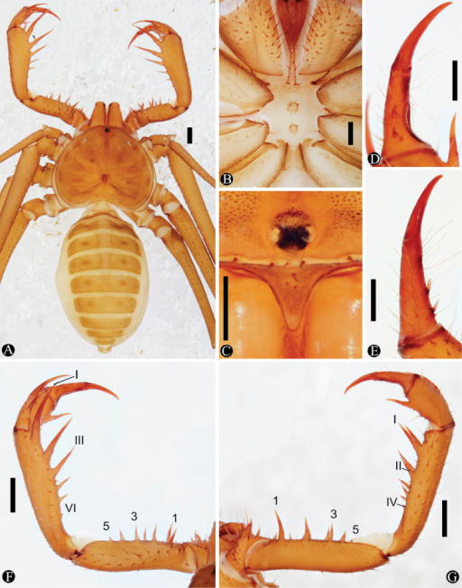 Habitus and details of Charinusruschii sp. n. (holotype, MNRJ 9235). A Habitus dorsal B Sternum C Frontal process D Dorsal view of left pedipalp tarsus and claw E Frontal view of left pedipalp tarsus and claw F Dorsal view of left pedipalp G Ventral view of left pedipalp. Scale bars: A, F, G: 1 mm; B, C, D, E: 0.5 mm.