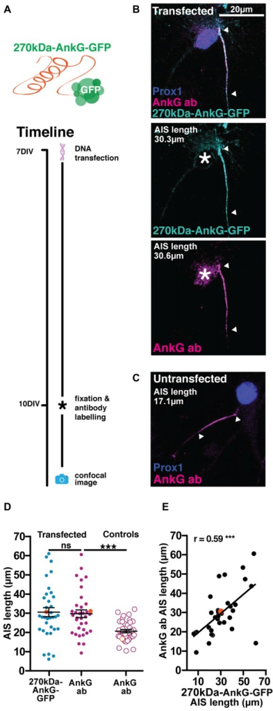 The 270kDa-AnkG-GFP construct artificially increases AIS length in mature neurons. (A) Diagram of construct used and transfection method timeline. (B) Maximum intensity projection of a DGC expressing 270kDa-AnkG-GFP (cyan) which co-localizes with an anti-AnkG antibody (magenta). Asterisks, nucleus; arrowheads, DGC AIS start and end positions. (C) Maximum intensity projection of an untransfected DGC bearing an AIS of normal length. Arrowheads DGC AIS start and end positions. (D) Distributions of AIS lengths measured from 270kDa-AnkG-GFP transfected neurons and control untransfected DGCs. Each dot or triangle represents a single cell; orange symbols represent cells from panel (B); dark lines show mean ± SEM; paired t-test AnkG-GFP and AnkG ab, p = 0.68; ns, non-significant; unpaired t-test AIS length via AnkG ab from transfected vs. control untransfected cells, ***p = 0.002. (E) Correlation analysis for AISs labeled with both the AnkG-GFP construct and AnkG antibody. Each dot represents one cell; orange symbol, example cell from panel (B); line; best fit linear regression; Pearson's correlation; ***p < 0.001.