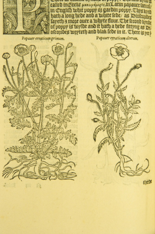 <p>Woodcut illustation of two varieties of poppy.</p>