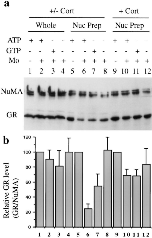 (a) Western blot analysis of molybdate-stimulated in  vitro GR nuclear export. (Lanes 1–8) GrH2 cells treated with  corticosterone (Cort) for 1 h and then withdrawn from hormone  for 20 min. (Lanes 9–12) GrH2 cells treated with corticosterone  for 80 min. Harvested cells were permeabilized in suspension,  and aliquots of intact nuclei were incubated with 50 μl of reaction  mixture containing 10 mg/ml BSA in transport buffer, 4 mM ATP  (lanes 1, 2, 5, 6, 9, and 10), or 4 mM GTP (lanes 3, 7, and 11) with  an energy-regenerating system, and 20 mM sodium molybdate  where indicated (lanes 2, 3, 4, 6, 7, 8, 10, 11, and 12). After a 20min incubation at 30°C, each nuclear suspension was split into  two identical samples. One sample was subjected to SDS-PAGE  directly (lanes 1–4, Whole). The other identical sample was  washed, and nuclei were recovered and subjected to SDS-PAGE  for detection of the remaining nuclear GR (lanes 5–12, Nuc  Prep). (b) Quantification of GR levels observed in Western blots  by densitometry. GR levels were normalized to the internal control NuMA protein. (Bars 1–8) Average of four experiments;  (bars 9–12) average of two experiments. Whole, whole reaction  mix; Nuc Prep, nuclear pellets.