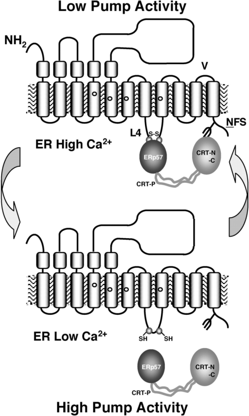 Model depicting the functional consequences of the interaction between ERp57–CRT with SERCA 2b. At rest, the ER Ca2+ stores are full (high [Ca2+]ER), the N domain of CRT interacts with the COOH-terminal sequence of SERCA 2b, whereas the P domain recruits ERp57 to target L4 in SERCA 2b. At high [Ca2+]ER our data suggest that ERp57 promotes disulfide bond formation between thiol groups in the loop, reducing pump activity (i.e., decreasing the frequency of Ca2+ oscillations and t1/2). This activity of ERp57 favors disulfide bond formation because the prevailing conditions in the ER are relatively oxidizing. As [Ca2+]ER decreases below ∼50 μM, ERp57 dissociates from L4, allowing SERCA 2b in its reduced form (cysteine mutagenesis) to be more active. Thus, at low [Ca2+]ER SERCA 2b favors ER store refilling. The arrow indicates the point of divergence between SERCA 2a and SERCA 2b. NFS is the glycosylation consensus motif at the COOH-terminal sequence of SERCA 2b.