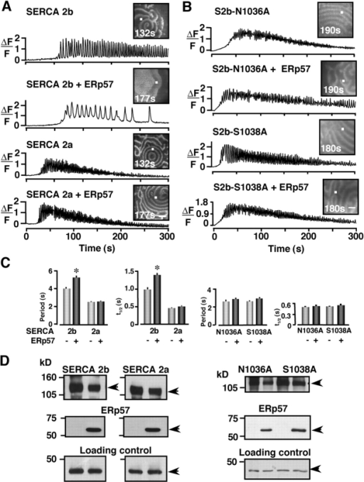ERp57 does not affect Ca2+ oscillations mediated by SERCA 2a, nor SERCA 2b glycosylation motif mutants. (A) Confocal images of Ca2+ oscillations in oocytes overexpressing SERCA 2b (n = 31), SERCA 2b + ERp57 (n = 39), SERCA 2a (n = 25), and SERCA 2a + ERp57 (n = 30). The traces represent two independent experiments with 12–20 oocytes per group. (B) Images of Ca2+ oscillations in oocytes overexpressing SERCA 2b-N1036A (n = 34), SERCA 2b-N1036A + ERp57 (n = 15), SERCA 2b-S1038A (n = 37), and SERCA 2b-S1038A + ERp57 (n = 16). The traces represent two independent experiments with 8–19 oocytes per group. (C) Histograms plot period and t1/2 for experiments in A and B, respectively. Asterisks indicate statistical significance (P < 0.05, t test) between SERCA 2b with SERCA 2b + ERp57 oocytes. (D) Western blots of SERCA 2a, SERCA 2b, or its mutants, and ERp57 from lysates of experimental oocytes as labeled. One oocyte equivalent was loaded per lane and proteins were resolved through 12% SDS-PAGE. Arrowheads indicate the protein as labeled at the top of each gel Bars: (A and B) 100 μm.