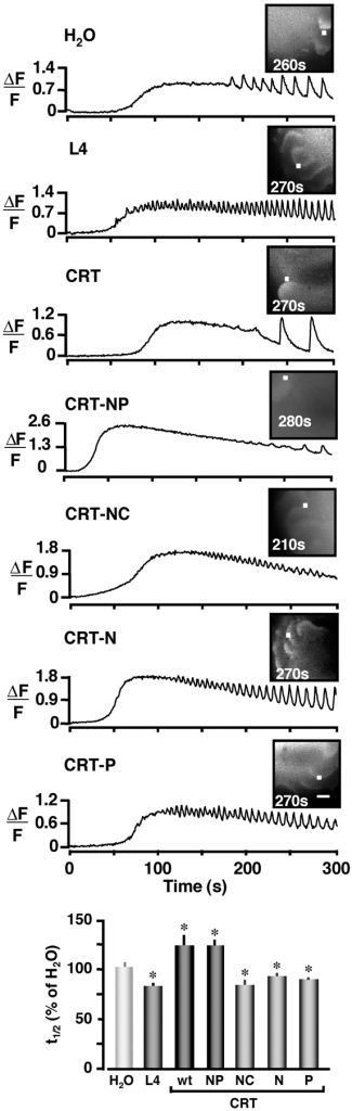Overexpression of L4, NC, N, or P domains of CRT increase Ca2+ oscillation frequency. Representative confocal images of Ca2+ oscillations in oocytes as labeled: H2O (n = 46); L4 (n = 31); CRT (n = 22); CRT-NP (n = 28); CRT-NC (n = 28); CRT-N domain (n = 45); and CRT-P domain (n = 49). Two independent experiments with 11–25 oocytes per group were performed. Histogram plots t1/2 of individual waves normalized to the H2O control group. Asterisks indicate statistical significance (P < 0.05, t test) between L4, CRT, CRT-NP, CRT-NC, CRT-N, CRT-P, and the control group. Bar, 100 μm.