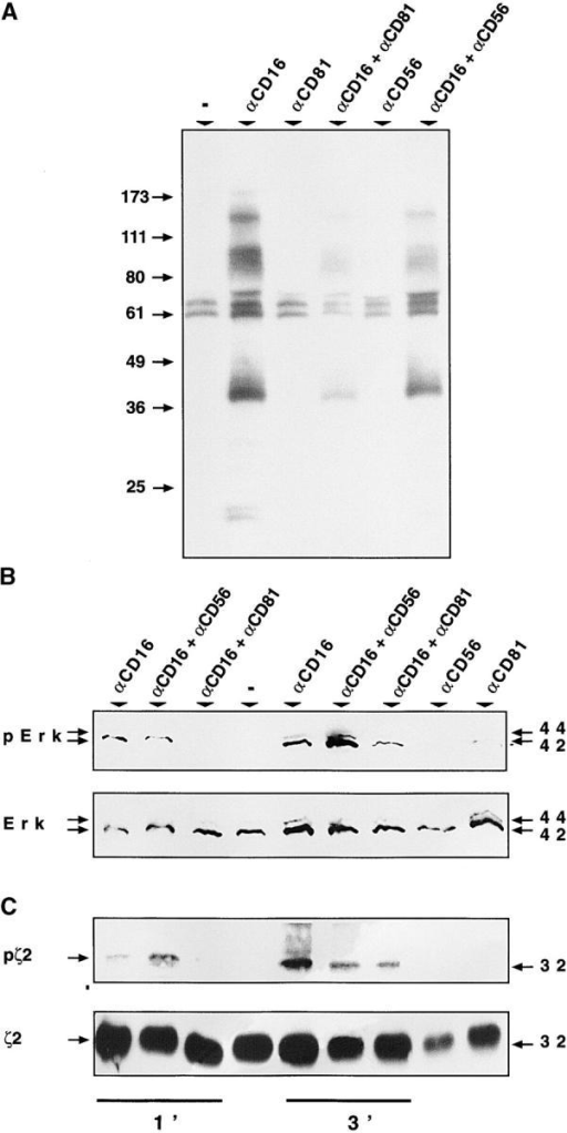 CD81 engagement inhibits specific CD16-triggered tyrosine phosphorylation events. Purified, cultured NK cells (107 per sample) were incubated with the indicated antibodies for 1 min and tyrosine phosphorylated proteins were immunoprecipitated from cell lysates, resolved by SDS-PAGE, transferred to a nitrocellulose membrane and immunoblotted with antiphosphotyrosine mAb (A). NK cells (107 per sample) were stimulated with the indicated cross-linked mAb's for 1 or 3 min, as indicated in the figure (B and C). Total cell lysates were resolved by SDS PAGE and immunoblotted (B) first with a rabbit polyclonal antiphospho-p44/42 MAPK (erk-2) antibody (top) and then reprobed with a rabbit polyclonal p44/42 MAPK (erk-2) antibody (bottom). Under the same conditions cell lysates were subjected to immunoprecipitation with anti-ζ polyclonal antibody (C). Immunoprecipitated proteins were immunoblotted first with antiphosphotyrosine mAb (top) and then with the immunoprecipitating polyclonal antibody (bottom). In these experiments, SDS-PAGE was performed in nonreducing conditions to detect the 32 kD ζ homodimers (ζ2).