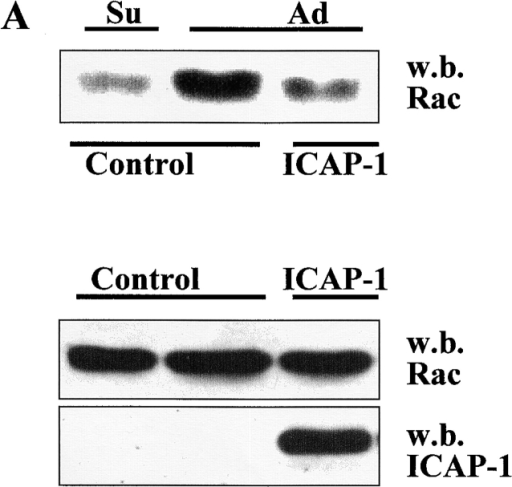 ICAP-1 inhibits and binds Rac1. (A) COS cells transiently transfected with control vector or myc–ICAP-1 were suspended by trypsin treatment, kept in suspension 2 h 30 min in serum-free DME (Su), and plated on fibronectin (5 μg/ml) for 1 h (Ad). Rac1 activation level was evaluated as described in Materials and methods using a GST-PAK-CD fusion protein that selectively binds to GTP-Rac1. The bound GTP-Rac1 was analyzed by Western blotting with a polyclonal antibody to Rac1. To probe for Rac1 and ICAP-1 expression, total cell lysates were blotted with the corresponding antibodies. (B) The amount of GTP-bound and total Rac1 (A) was quantified by densitometric analysis; the activation level of Rac1 is expressed as a ratio between the values of GTP-bound and total Rac1. Comparable results were obtained in three independent experiments. (C) Total lysate of COS cells transfected with myc-Rac1 was loaded on Sepharose coupled with MBP–ICAP-1 fusion protein or MBP as control. The proteins eluted with glycine-HCl, pH 3, buffer (fractions numbers 1-2-3-4) were analyzed by Western blotting with a monoclonal antibody against Rac1.