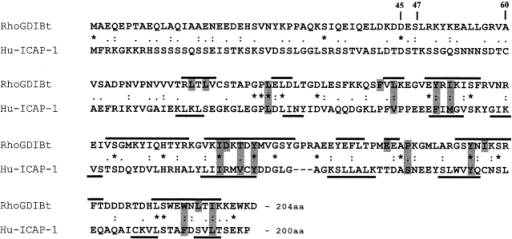 Sequence alignment of bovine RhoGDI (RhoGDIBt) and ICAP-1 proteins. Sequences of human ICAP-1 (sequence data available from GenBank/EMBL/DDBJ under accession no. NP_004754) and bovine RhoGDI (accession no. CAA36916) were aligned using CLUSTAL W (1.81). Lines above RhoGDIBt sequence indicate secondary structure elements as reported by Hoffman et al. (2000). Lines under ICAP-1A sequence indicate a prediction of its secondary structure elements as obtained using a Biology Work Bench protein analysis tool based on the DSC algorithm (King and Sternberg, 1990). Shaded grey areas indicate residues of the RhoGDIBt that interact with Cdc42 geranylgeranyl moiety. Asterisks indicate single fully conserved residue. Colons indicate conservation of strong groups. Periods indicate conservation of weak groups.