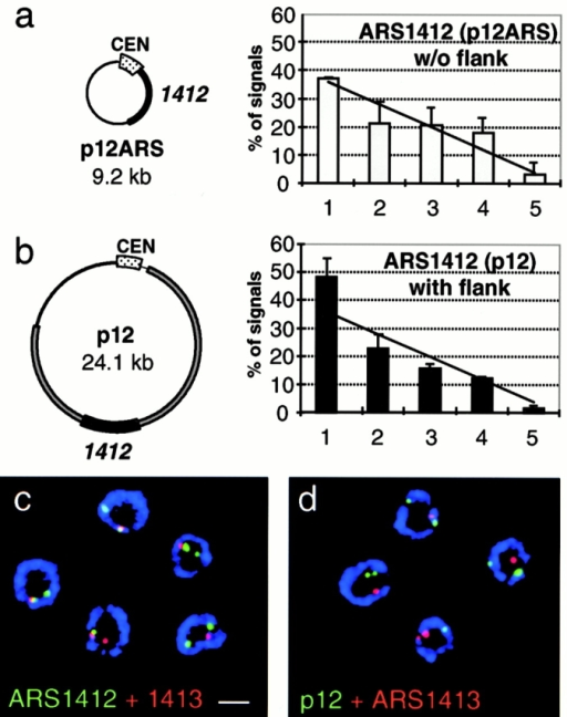The late replicating plasmid p12 is enriched at the nuclear periphery, but does not colocalize with genomic ARS1412. (a and b) The plasmid p12ARS carries ∼1.5 kb of the core ARS1412 sequence, which fires late in its genomic location but becomes activated early on p12ARS (Friedman et al. 1996). The plasmid p12 bears an additional 17 kb of flanking sequences up- and downstream of the core ARS1412 and maintains a late activation in S phase. Subnuclear localization based on distance-to-edge measurements was quantified for p12ARS and p12, which were probed in diploid cdc4-3 cells that were carrying the appropriate plasmid and were blocked in G1 by a shift to restrictive temperature. Quantification of the FISH signal distribution was performed as described in Fig. 3 a. Numbers are based on two experiments for each plasmid and error bars represent standard deviations. p12ARS (n = 81 signals, 58 nuclei), p12 (n = 219 signals, 143 nuclei). A χ2 test shows that p12 is significantly enriched in the nuclear periphery to P < 0.01, while p12ARS is randomly distributed (P = 0.5). (c and d) Shown are representative confocal images of diploid cdc4-3 cells (GA-1190), blocked in late G1, and labeled with pairs of FISH probes and antinuclear pore (blue). In c, FISH probes recognize the genomic ARS1412 (green) and ARS1413 (red) loci, which colocalize. In d, cells carrying the late replicating plasmid p12 were probed for the plasmid (green) and the genomic ARS1413 (red). The signals were quantified for colocalization and the result is presented in Table . Images were collected on an LSM 410 confocal microscope. Scale bar: 2 μm.