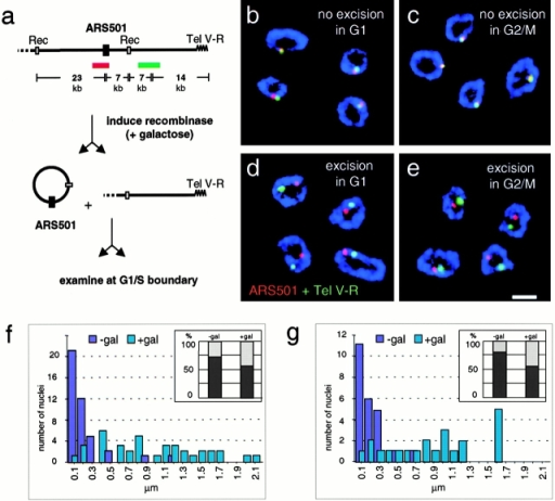 Once the late timing is established, ARS501 requires neither telomere proximity nor a peripheral position to remain late firing. Haploid budding yeast cells with the temperature-sensitive cdc7-1 allele and the excisable 30-kb cassette bearing ARS501 (GA-1205; Raghuraman et al. 1997) were blocked with nocodazole at G2/M (c and e) or with α factor at Start in G1 (b and d). The site-specific recombinase was induced by addition of galactose. After a 4-h incubation, cells were released into glucose-containing medium at 37°C, which represses the recombinase and synchronizes cells at the G1/S boundary (see Materials and Methods). Cells were fixed and subjected to nuclear pore immunofluorescence (blue), FISH with ARS501 (red), and Tel V-R (green). In a, we show a scheme of the FISH probes recognizing 7 kb on the excisable ARS501 circle (red) and an adjacent 5-kb probe that is 14 kb closer to Tel V-R (green). The 30-kb ARS501 cassette is flanked by recombination sites specifically recognized by the R recombinase from Z. rouxii (Raghuraman et al. 1997). (b–e) Codetection of the two FISH probes has been performed as described above and representative confocal images of equatorial sections through hybridized nuclei are shown. In cells with preserved nuclear pore staining, subnuclear localization of the 30-kb ARS501 cassette was quantified for its position relative to either the telomere proximal locus on chromosome V or to the nuclear periphery using the line profile tool of LSM510 Confocal Software. Distance measurements between the maxima of two signals were categorized in groups from 0–99 nm = 100, 100–199 = 200 etc., and expressed in bar graphs in f (nnonexcised; excised = 42, 37) and g (nnonexcised; excised = 24, 22). The general position of the ARS501 cassette within the nucleus was analyzed by computing the ratio between the minimal distance from the pore of the FISH signal and the radius of the nucleus. Values <0.29 were scored as peripheral as in Fig. 3 b (see Materials and Methods). Percentages of peripheral (dark grey) or internal (light grey) localization are presented as bar graphs. Peripheral localization is expressed in percent in f (nnonexcised; excised = 48, 66) and g (nnon-excised; excised = 57, 48), insets. Analysis using a standard χ2 test revealed that the localization of ARS501 is significantly nonrandom before excision (P < 0.001), but not after (P = 0.35). Images were collected on an LSM 510 confocal microscope. Scale bar: 2 μm.