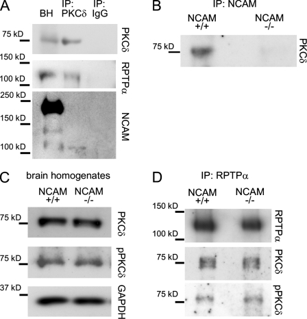 PKCδ associates with NCAM and RPTPα but its activity is not regulated by NCAM. (A and B) PKCδ (A) or NCAM (B) immunoprecipitates (IP) from NCAM+/+ brain lysates were analyzed by Western blotting as indicated. Mock immunoprecipitation with nonspecific IgG (A) or from NCAM−/− brain lysates (B) served as a control. RPTPα and NCAM120 coimmunoprecipitate with PKCδ, and PKCδ coimmunoprecipitates with NCAM. BH, brain homogenate. (C and D) NCAM+/+ and NCAM−/− brain homogenates (C) and RPTPα immunoprecipitates from NCAM+/+ and NCAM−/− brain lysates (D) were probed by Western blotting with antibodies against total PKCδ and active Thr505-phosphorylated PKCδ. Note the similar loading (GAPDH labeling in C) and immunoprecipitation efficiency (RPTPα labeling in D). Total levels of active PKCδ and levels of active PKCδ associated with RPTPα are not changed in NCAM−/− brains.