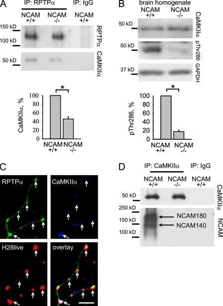 NCAM promotes CaMKIIα activation and RPTPα–CaMKIIα complex formation. (A) RPTPα immunoprecipitates (IP) from NCAM+/+ and NCAM−/− brain lysates were probed by Western blotting with antibodies against CaMKIIα. Note that similar levels of RPTPα were immunoprecipitated. Mock immunoprecipitation with nonspecific IgG served as control. Coimmunoprecipitation of CaMKIIα with RPTPα is reduced in NCAM−/− brain lysates. (B) NCAM+/+ and NCAM−/− brain homogenates were probed by Western blotting with antibodies against total and active Thr286-phosphorylated CaMKIIα and GAPDH (loading control). The levels of active CaMKIIα were reduced in NCAM−/− brain homogenates. Graphs show quantitation of the blots (mean ± SEM, n = 6 for A and B) with optical density for NCAM+/+ probes set to 100%. *, P < 0.05, paired t test. (C) NCAM was clustered at the cell surface of cultured hippocampal neurons by NCAM antibodies (H28live). Neurons were then fixed and colabeled with antibodies against RPTPα and CaMKIIα. A high-magnification image of a neurite is shown. NCAM clusters overlap with accumulations of RPTPα and CaMKIIα (arrows). Bar, 5 μm. (D) CaMKIIα immunoprecipitates from NCAM+/+ and NCAM−/− brain lysates were probed by Western blotting with antibodies against NCAM. NCAM140 and NCAM180 coimmunoprecipitated with CaMKIIα. Mock immunoprecipitation with nonspecific IgG served as a control.