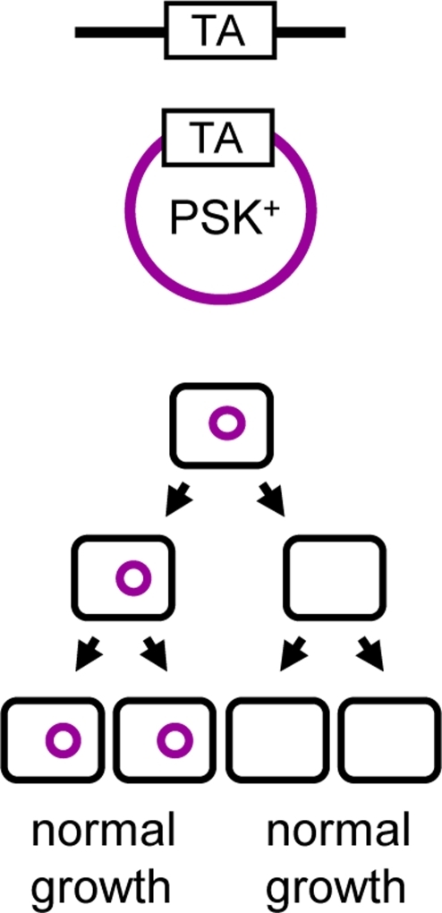 The anti-addiction model.The chromosomally encoded anti-addiction system is represented in black; the PSK+ plasmid in purple. In this model, the antitoxin of the chromosomally encoded TA system is able to counteract the toxin of the plasmid-encoded system. Therefore, daughter bacteria that do not inherit a plasmid copy at cell division will survive post-segregational killing.