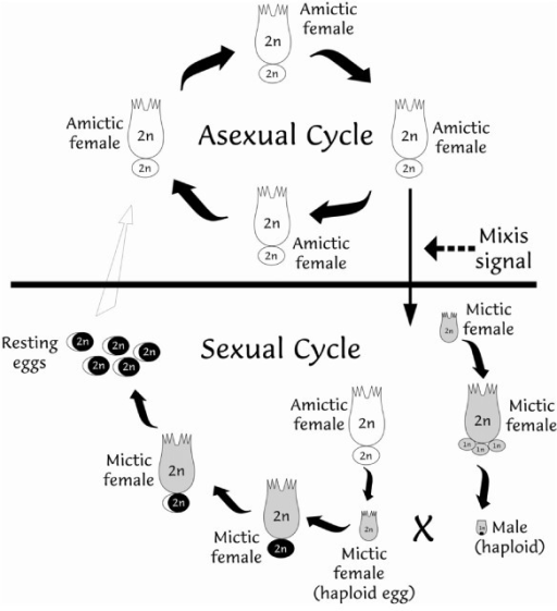 Difference parthenogenesis and asexual reproduction