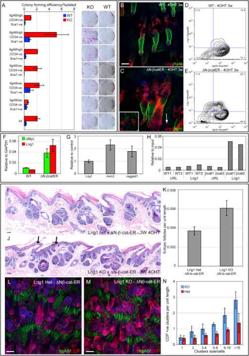 Effect of Lrig1 Loss on Stem Cell Renewal and Responsiveness to β-Catenin Activation(A) Clonal growth assays of primary keratinocytes sorted based on CD34, Sca1, and α6 integrin (Figure 3A–C) from the skin of wild-type (WT) and Lrig1- (KO) adult littermates. Error bars represent SD (n = 3). Six-hundred Sca1-negative cells and 2500 Sca1-positive and unfractionated cells were seeded; representative dishes are shown.(B and C) Tail epidermal whole mounts of WT and K14ΔNβ-cateninER mice treated with 4OHT for 3 weeks. Arrow and insert indicate Lrig1-positive ectopic follicles in interfollicular epidermis.(D and E) Flow cytometric analysis for Lrig1 and α6 integrin of cells from WT and K14ΔNβ-cateninER mice treated with 4OHT for 3 weeks. The proportion of cells in each fraction is indicated.(F) Q-PCR of Lrig1 and cMyc mRNA in back skin of WT and K14ΔNβ-cateninER-transgenic mice treated with 4OHT for 2 weeks. Expression levels are relative to Gapdh, and error bars represent SD (n = 3).(G) Q-PCR of levels of Lrig1, Axin2, and Jagged1 in primary murine epidermal keratinocytes treated with Wnt3A. Data are expressed relative to unstimulated cells. Error bars represent SD (n = 3).(H) ChIP analysis of endogenous cMyc on the Lrig1 promoter in WT and K14ΔNβ-cateninER mice treated with 4OHT for 10 days. Data represent two separate samples and show level of isolated genomic DNA relative to amount of input DNA.(I–M) Hematoxylin and eosin stained sections (I and J) and whole mounts (L and M) of adult tail epidermis from K14ΔNβ-cateninER × Lrig1 heterozygous (het) or knockout (KO) mice treated with 4OHT for 3 weeks. The number of ectopic HFs formed from the interfollicular epidermis was scored by morphology (K) and by the appearance of clusters of CDP-expressing cells (N) (two independent experiments; KO, n = 8; WT, n = 7). Arrows in (J) indicate expanded infundibulum with associated ectopic follicles.In (B), (C), (L), and (M), color coding indicates antibody labeling. Scale bars, 100 μm (B and C) and 200 μm (I, J, L, and M).