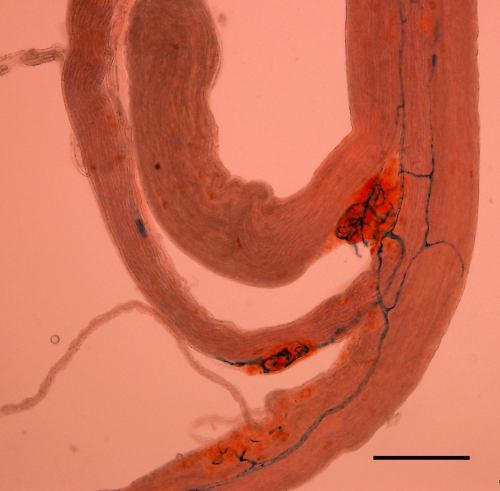 Paraganglia of the superior laryngeal nerve of the rat. The vital dye Neutral Red is selectively taken up by glomus and neuronal tissue and helps highlight the size and distribution of these structures on the SLN. The vasculature is stained with Berlin Blue. Scale bar = 200 μm.