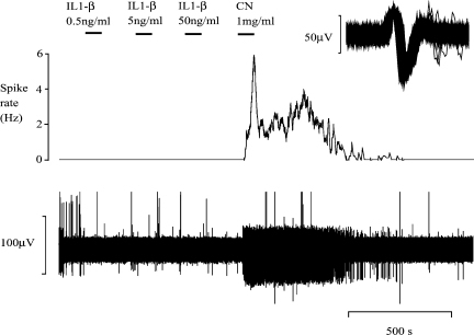 A representative experiment illustrating the effect of IL-1β on action potential frequency in the SLN. The bottom reading is a raw, digitised recording. The top trace illustrates the mean action potential frequency of a single unit (averaged over 10 s) and is derived from the raw recording. This graph is typical of the cytokine group of experiments. Application of increasing concentrations (low to high) of IL-1β does not alter the firing frequency of the SLN. The vigorous response to sodium cyanide (CN) elicited at the end of the protocol confirms the responsivity of the preparation.