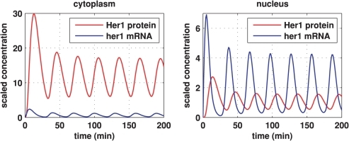 Core oscillator model simulation results showing sustained oscillations.Here we plot Her1 protein (red) and her1 mRNA (blue) concentrations over time. The left plot shows concentrations in the cytoplasm and the right plot shows concentrations in the nucleus. The concentrations are scaled by reference values. Thus, multiplying the Her1 protein concentration by  and the her1 mRNA concentration by  gives the true concentrations. All parameter values are stated in the Supporting Information. The other species in the core oscillator model show qualitatively similar behaviour.