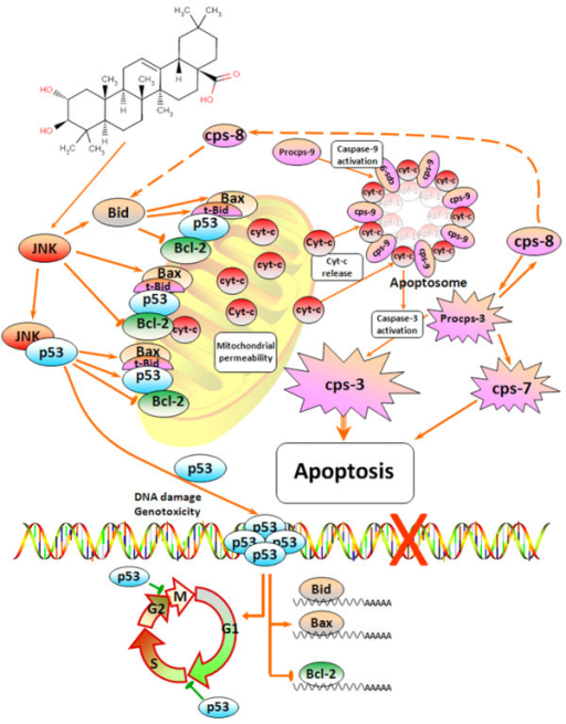 Schematic representation of the plausible molecular mechanism proposed for the induction of apoptosis by maslinic acid in HT29 colon-cancer cells. This molecular mechanism is regulated via the induction of JNK and p53, resulting in mitochondrial disruption, the release of cytochrome-c and finally the activation of a cascade of caspases.