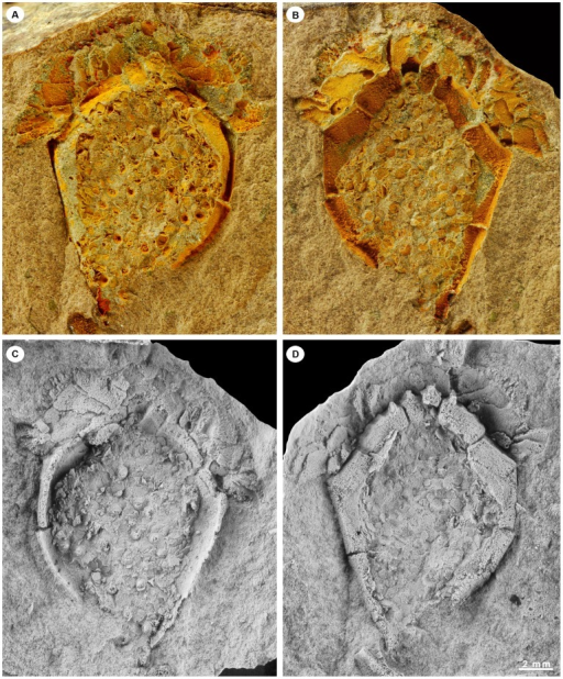 Natural mould and latex casts of the holotype of Ctenoimbricata spinosa gen. et sp. nov. (MPZ 2011/93) in dorsal (A, C) and ventral views (B, D).Latex casts were whitened with NH4Cl sublimate.