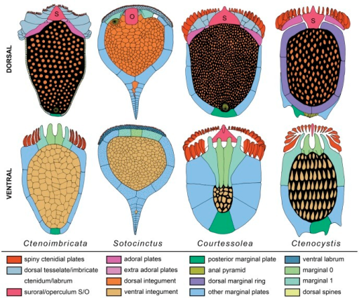 Diagram showing inferred homologies between ctenocystoids (Ctenocystis and Courtessolea), Ctenoimbricata and cinctans (Sotocinctus).The upper row illustrates dorsal surfaces, the lower row ventral surfaces; colors indicate plating series that are homologized. Reconstructions of ctenocystoids are modified from [34]. S  =  suroral plate; O  =  operculum.