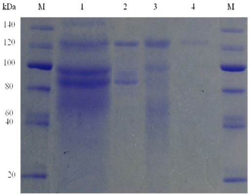 Sodium dodecyl sulfate polyacrylamide gel electrophoresis (SDS-PAGE) of the purified enzyme produced by Aspergillus niger KCCM 11239. M, protein marker; lane 1, supernatant fraction; lane 2, ammonium sulphate precipitation (30%–90%); lane 3, Sephadex G-100; lane 4, DEAE Sephadex.